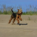 28825 409261965888 131001875888 4277708 5369683 n 150x150 R.I.P Oscar, my beautiful Airedale.