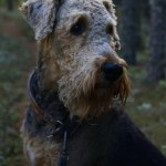 61831 1563442160190 1059421623 1606729 3578393 n 150x150 R.I.P Oscar, my beautiful Airedale.